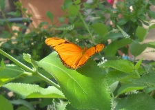 Butterfly at Ginter Garden